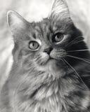 De Kat van de studio royalty-vrije stock afbeeldingen
