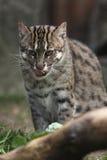 De kat van de visserij Royalty-vrije Stock Afbeeldingen