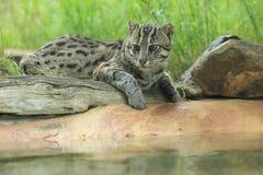 De kat van de visserij Stock Afbeelding