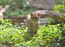 De kat van de visserij (viverrinus Prionailurus) Royalty-vrije Stock Afbeelding