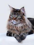 De kat van de Wasbeer van Maine Royalty-vrije Stock Foto