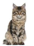 De kat van de Wasbeer van Maine, 5 maanden oud, het zitten royalty-vrije stock foto's