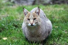 De kat van de wildernis Royalty-vrije Stock Fotografie