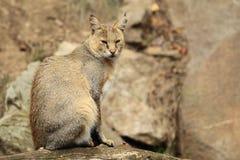 De kat van de wildernis Royalty-vrije Stock Afbeeldingen