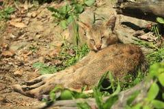 De kat van de wildernis Royalty-vrije Stock Foto