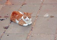 De kat van de zitting Royalty-vrije Stock Fotografie