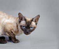 De kat van Devon Rex Stock Afbeelding