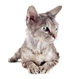De kat van Devon rex Stock Afbeeldingen