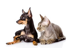 De kat van Devon rex en puppy speelgoed-Terrier samen Weg het kijken Isol Stock Afbeeldingen