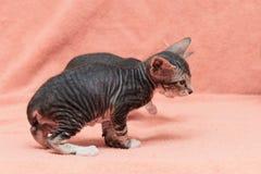 De kat van Donskoy Sphynx stock afbeeldingen