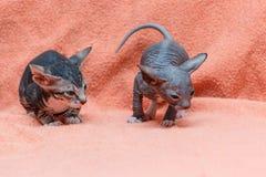 De kat van Donskoy Sphynx stock foto's