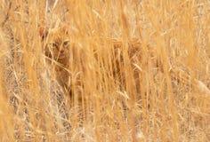 De kat van de gembergestreepte kat op een gebied van lang droog prairiegras dat volkomen wordt gecamoufleerd stock afbeeldingen