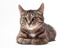De kat van de gestreepte kat op witte achtergrond stock foto