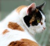 De kat van het calico Stock Foto's