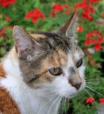 De Kat van het calico in de Tuin royalty-vrije stock fotografie