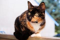 De Kat van het calico in openlucht Stock Afbeeldingen