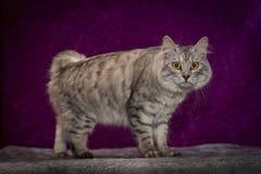 De kat van het Eiland Man stock foto's