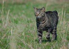 De kat van het Eiland Man uit voor een wandeling Stock Afbeeldingen