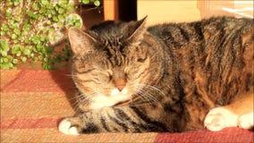 de kat van het gestreepte kathuis in de avond zon stock video