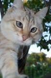 De kat van het gestreepte katpunt royalty-vrije stock afbeelding