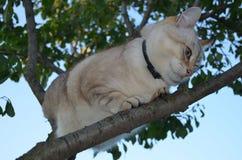 De kat van het gestreepte katpunt royalty-vrije stock foto's