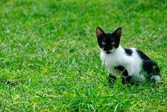 De kat van het gras Royalty-vrije Stock Afbeeldingen