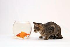 De kat van het huis en een gouden vis. Royalty-vrije Stock Foto