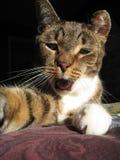 De kat van het huisdier Royalty-vrije Stock Afbeeldingen