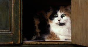 De kat van het Loghaircalico Royalty-vrije Stock Afbeelding
