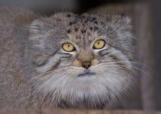 De kat van Pallas Royalty-vrije Stock Afbeeldingen