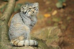 De kat van Pallas Stock Fotografie