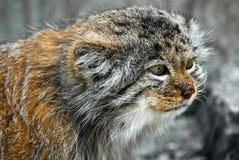 De Kat van Pallas (lat. Felis manul) Royalty-vrije Stock Afbeeldingen