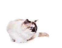 De Kat van Ragdoll Royalty-vrije Stock Afbeeldingen