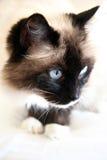 De kat van Ragdoll stock foto's