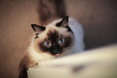De Kat van Ragdoll met blauwe ogen Royalty-vrije Stock Afbeeldingen