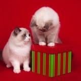 De kat van Ragdoll met giften Royalty-vrije Stock Foto's
