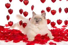 De kat van Ragdoll met rode roze bloemblaadjes en rode harten Royalty-vrije Stock Afbeeldingen