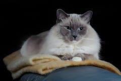 De kat van Ragdoll zit op een deken Stock Afbeeldingen