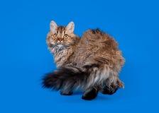 De kat van Selkirk rex Stock Foto