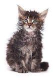De kat van Sibirian Stock Afbeeldingen