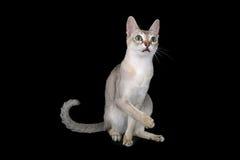 De kat van Singapura stock foto's