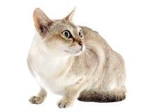De kat van Singapura stock afbeeldingen
