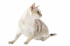 De kat van Singapura royalty-vrije stock foto
