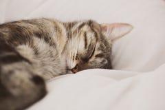 De kat van de slaap op witte achtergrond Leuke Europese drie kleurenkat Portret van mooie kat stock foto