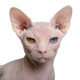 De kat van Sphynx, 1 éénjarige Royalty-vrije Stock Afbeelding