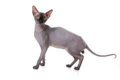 De kat van Sphynx Royalty-vrije Stock Afbeeldingen