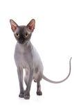 De kat van Sphynx Royalty-vrije Stock Foto's