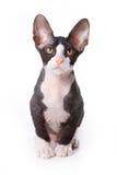 De kat van Sphynx Stock Afbeeldingen