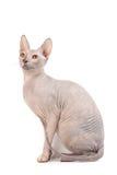 De kat van Sphynx Royalty-vrije Stock Foto