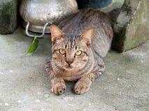 De kat van Thailand Royalty-vrije Stock Afbeeldingen